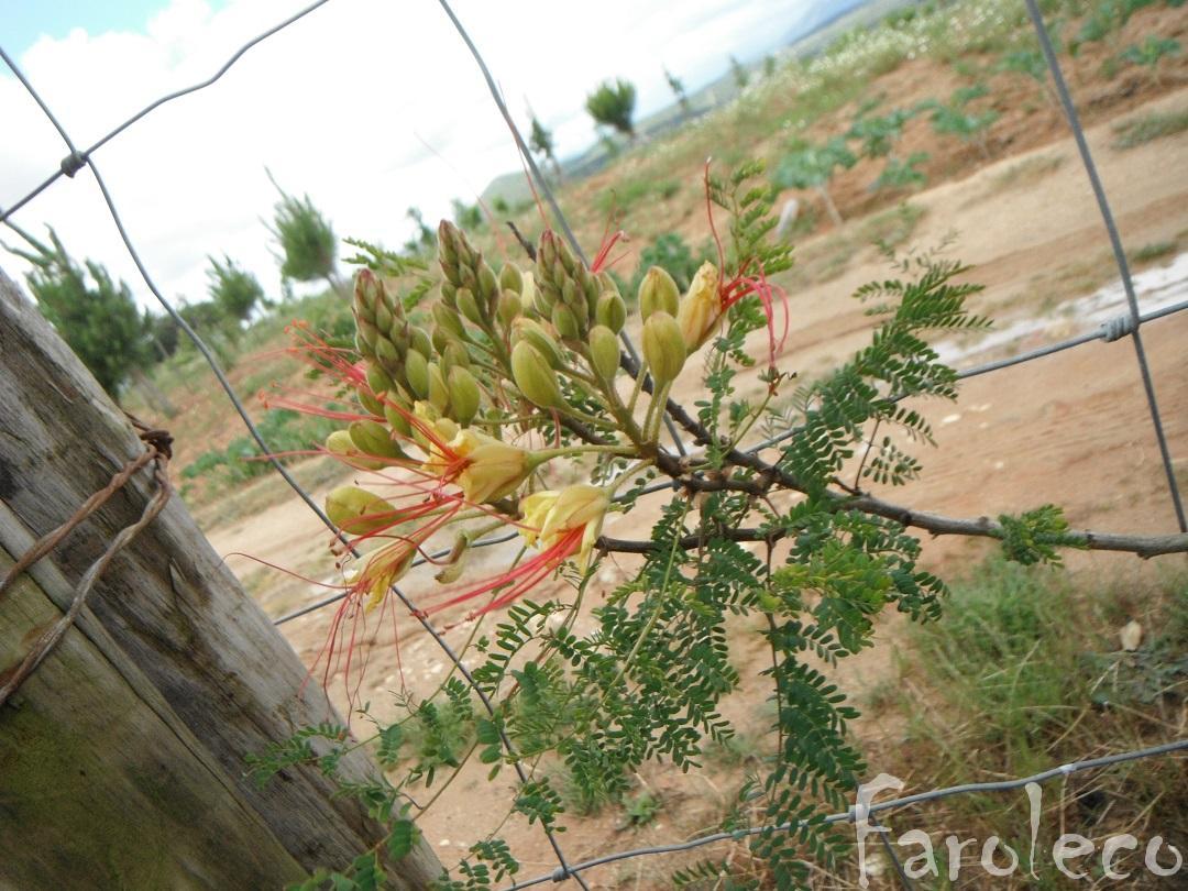 Faroleco caesalpinia gilliesii - Caesalpinia gilliesii cultivo ...